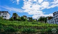 <h5>Montmartre Vineyard, Paris, France</h5>