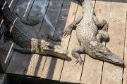 <h5>Crocodiles farm at Chong Khneas floating village, Tonle Sap Lake, Siem Reap, Cambodia</h5>