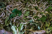 <h5>Silk worms eating mulberry leaves at Artisans Angkor, Siem Reap, Cambodia</h5>