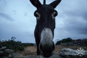 <h5>Donkey the donkey, Sifnos, Cyclades Islands, Greece</h5>